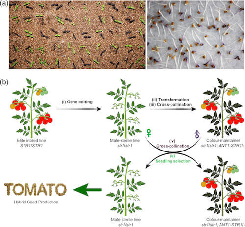 Methods of hybrid seed production